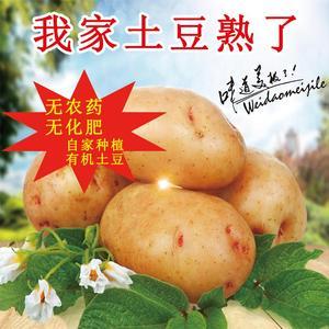 旱地土豆纯天然无污染